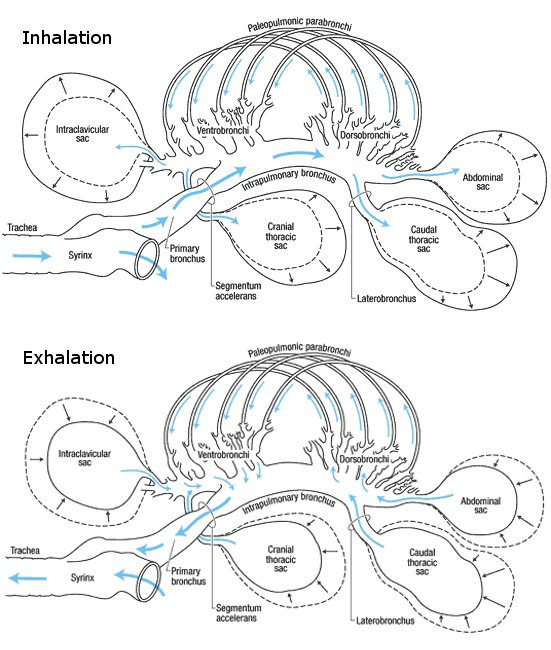 Unidirectional airflow in the lungs of birds, crocs…and