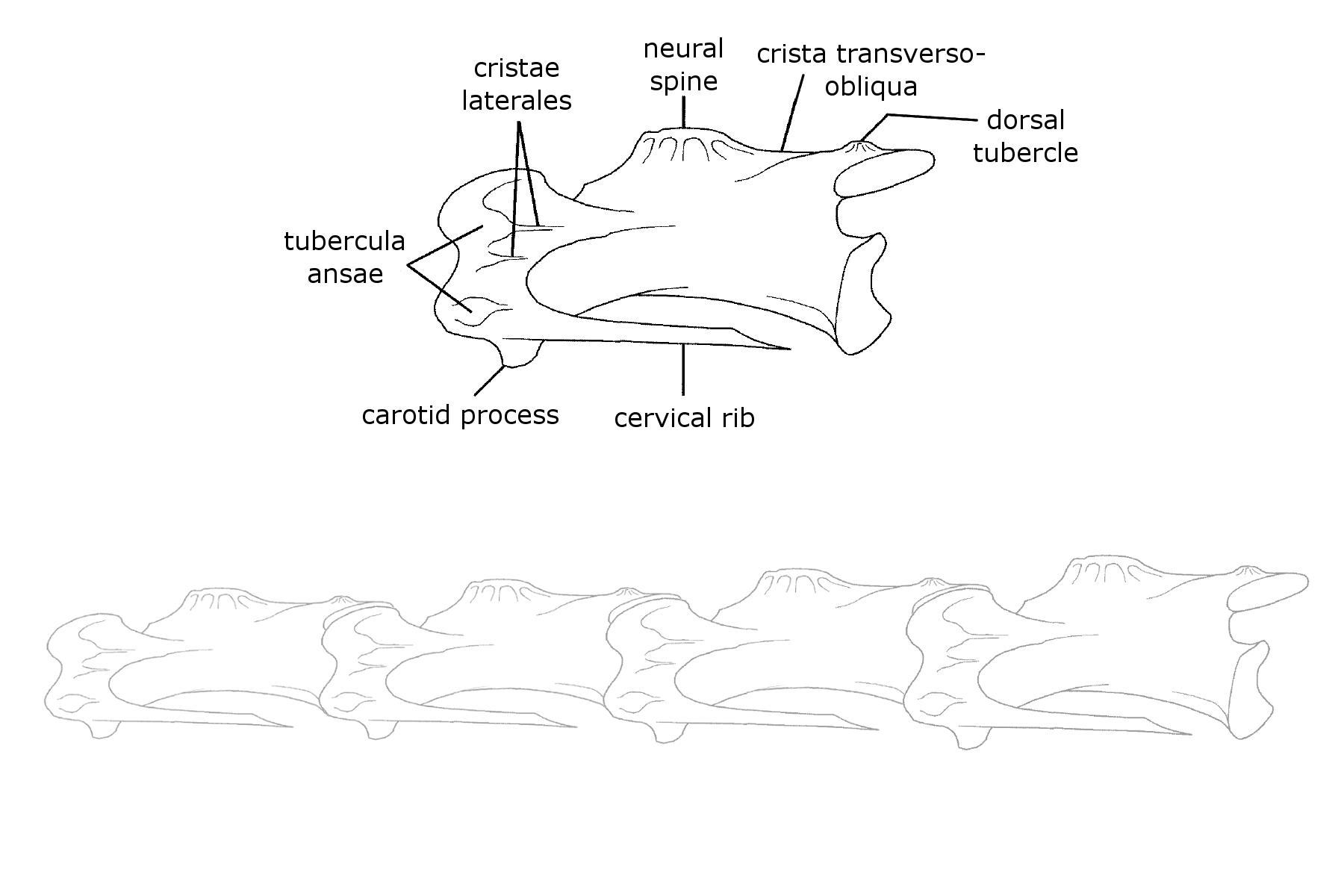 duck skeleton diagram bazooka bass tube wiring rhea sauropod vertebra picture of the week