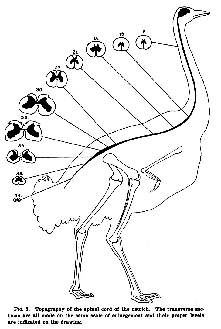 ostrich skeleton diagram pioneer avh p4000dvd wiring sauropod vertebra picture of the week streeter 1904 fig 3 compare to next image down