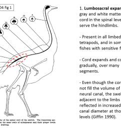 bird neural canals are weird part 2 the lumbosacral expansion sauropod vertebra picture of the week [ 1024 x 768 Pixel ]