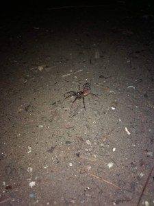 Carolina Wolf Spider (I think) it was the size of my hand!