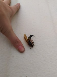 Dead Cicada Killer Wasp