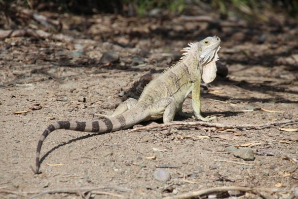 Iguana on Baradel Island in Tobago Cays