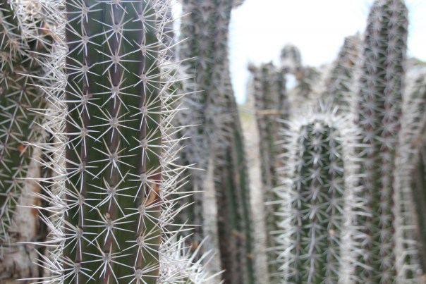 They use the cactus as fencing material. No way you would try to climb through!