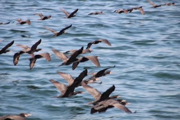 Massa's pelikanen komen in formatie voorbij gescheurd