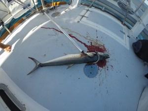 isla-tiburon_fish-on_sierra