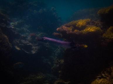 Chinese trumpetfish (flutemouth), (Aulostomus chinensis), Lady Musgrave Island