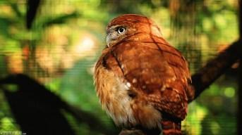 #Macaw Mountain_Pygmy owl1