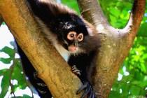 #Barillas_Spider monkey5