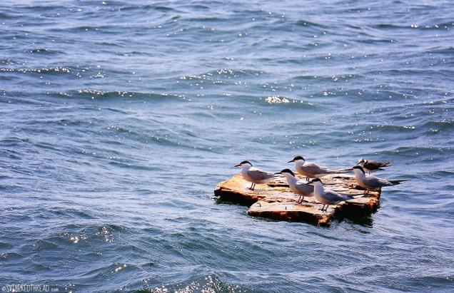 #Bahia Ballena to Puntarenas, CR_Seabirds