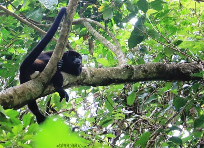 #Manuel Antonio_Howler lazing about