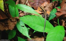 #Manuel Antonio_Tiny lizard