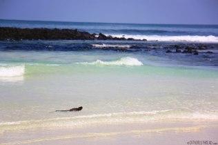 #Isla Santa Cruz_Playa Brava_Swimming iguana