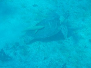Turtle with ramora cleaning fish attached