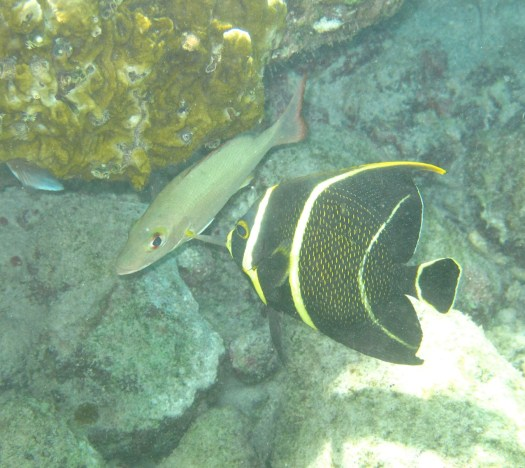 Angelfish & yellow grunt