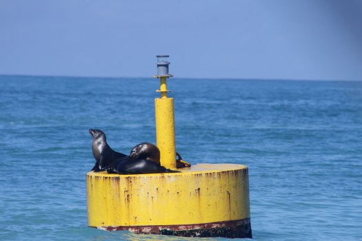 Sealion sentries on the buoy in the anchorage