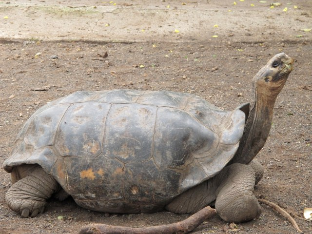 One of two species of giant tortoises on Isabela