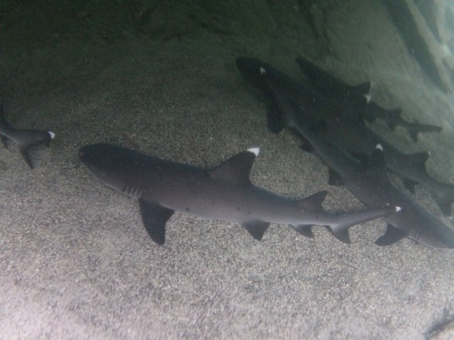 White-tipped reef sharks, Cabo Rosa