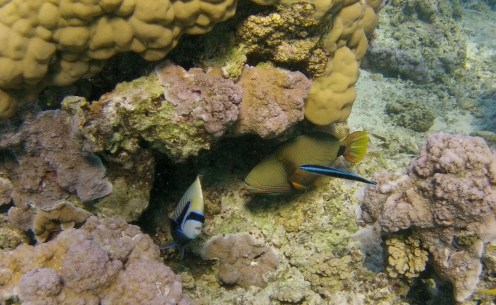 A trigger fish and racoon butterfly fish hanging out in the coral gardens