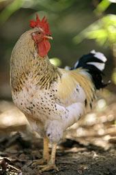070604-chickens_170