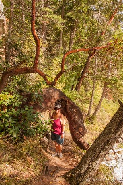 Sherlene and a massive Madrone