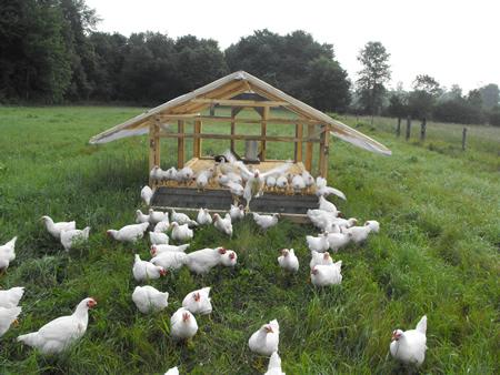 Grass-fed Chicken Ranching