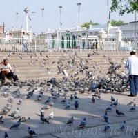 Photos - Pigeons  of Mecca Masjid