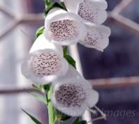 Kausani-Flowers6