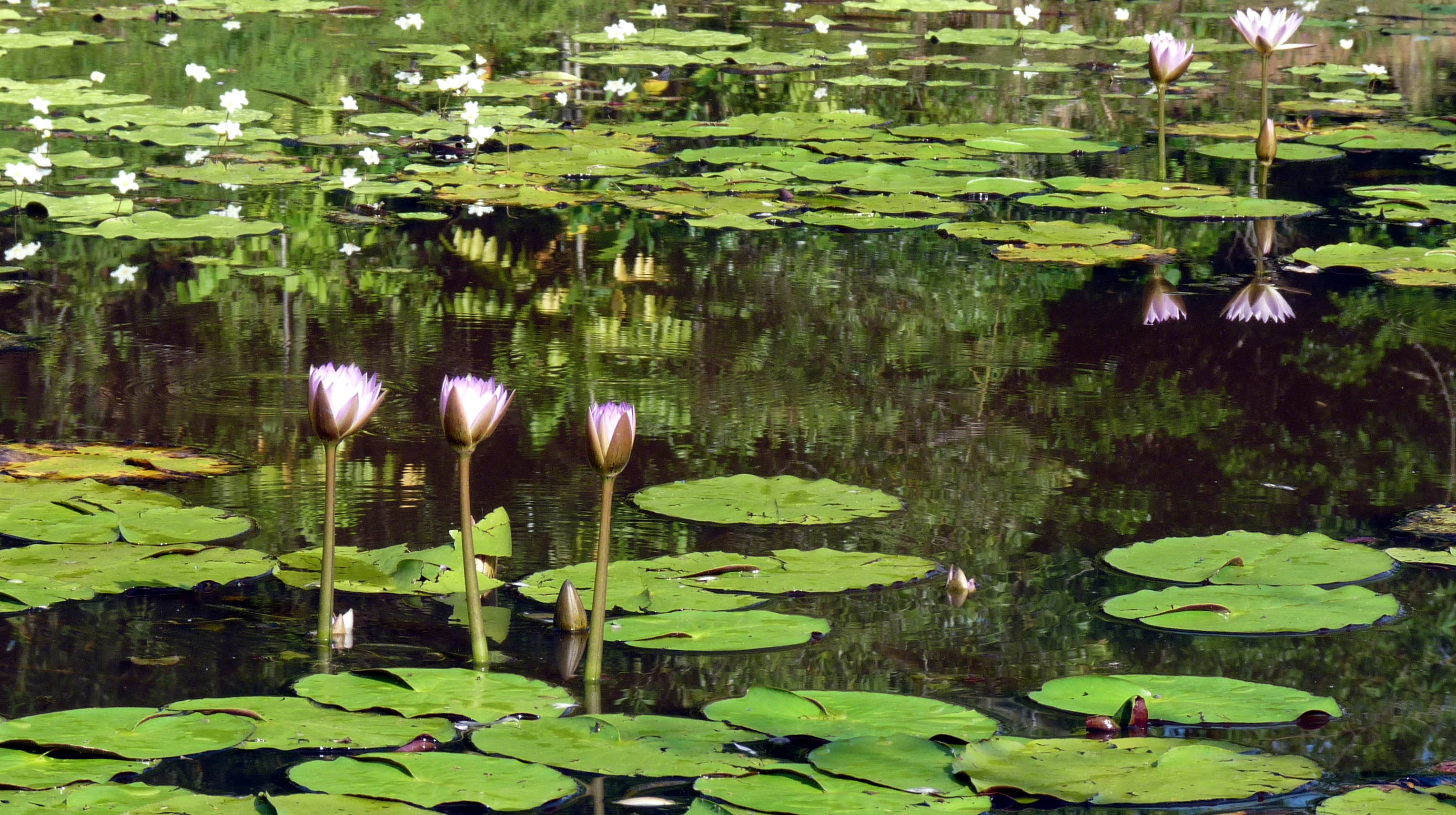 Daintree waterlilies