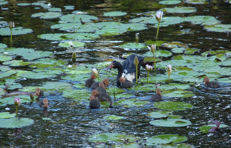 Magpie Goose & Goslings