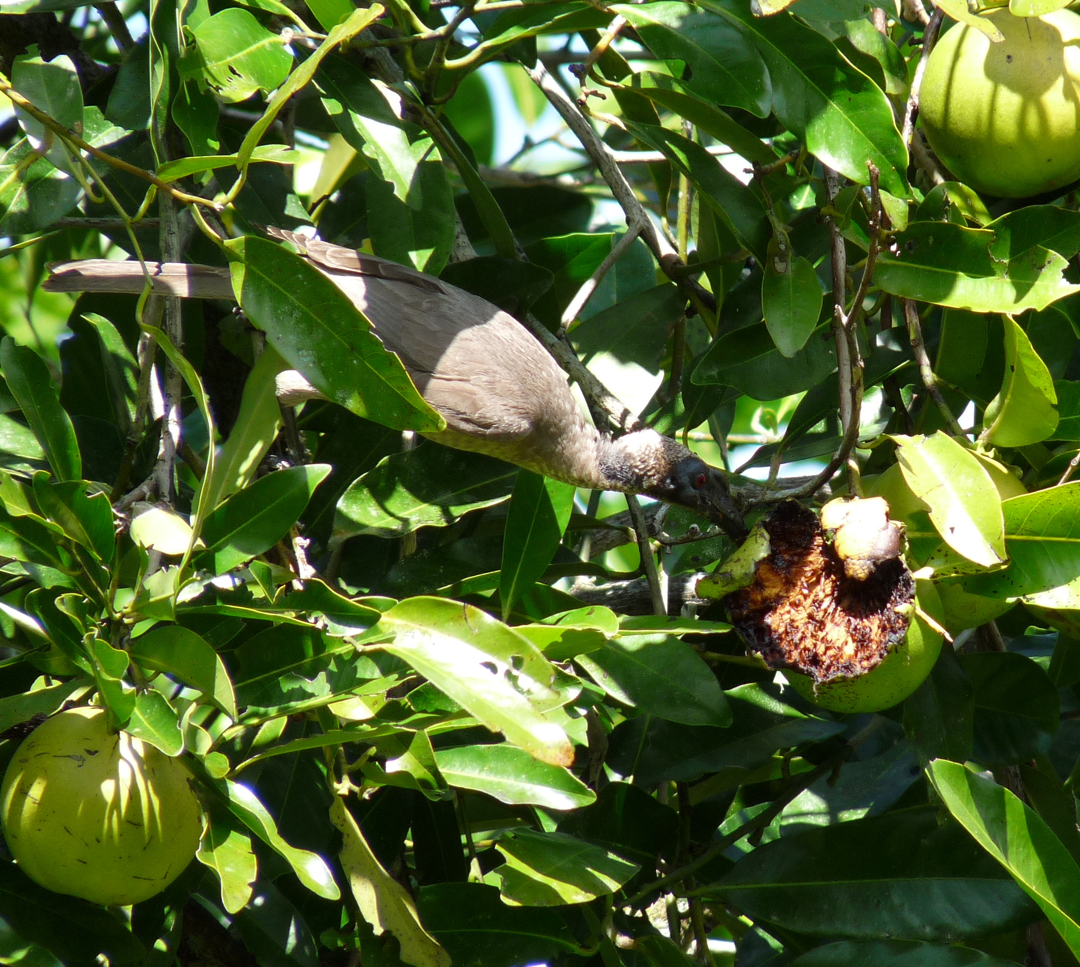 Helmeted Friarbird eating