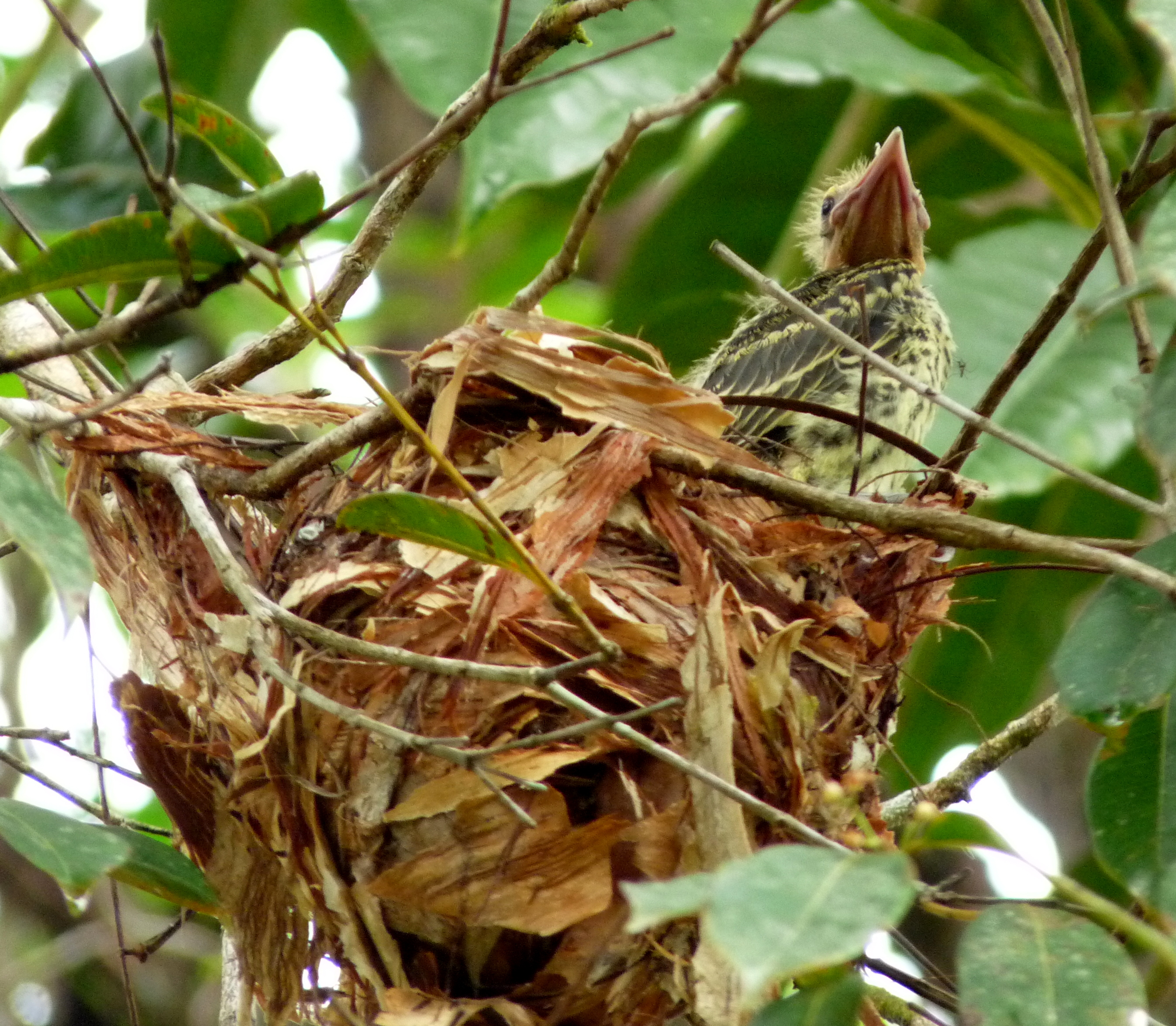 Oriole fledgling on nest