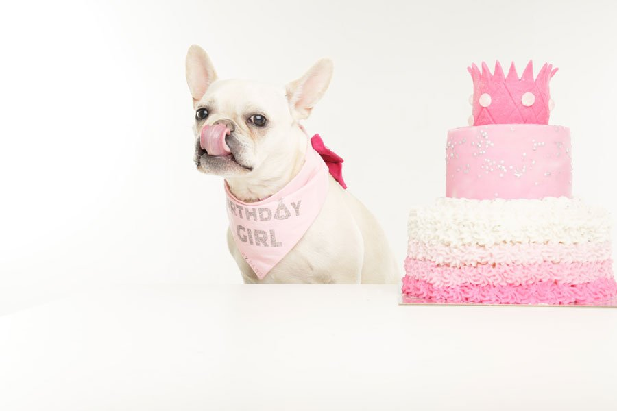 cute cream french bulldog in front of dog cake showing off her birthday dog bandana
