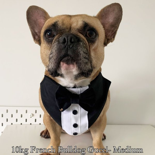 Tuxedo dog bandana on a fawn french bulldog with black buttons and black velvet bow tie- size M for 10kg dog