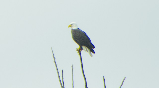 SUBMITTED PHOTO | The Nashville News A Bald Eagle sits and gazes over the city of Nashville. The eagle was spotted on Monday in a tree outside of First State Bank by Margaret Jones of Nashville.