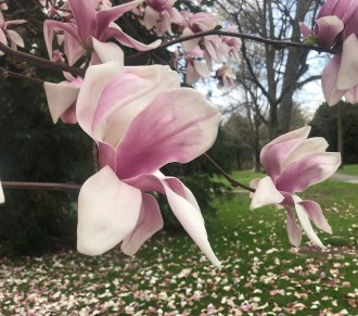 blooming-magnolia.jpg