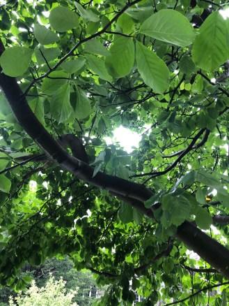 Under Yulan Magnolia