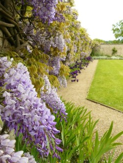 a wall of wisteria