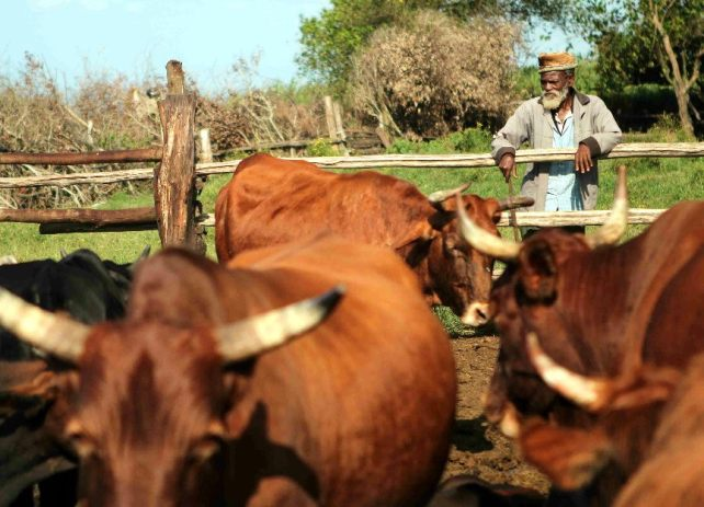 Mpopndo man with his cattle