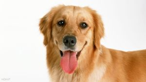 1920x1080-golden-retriever-dog-hd-desktop-wallpaper