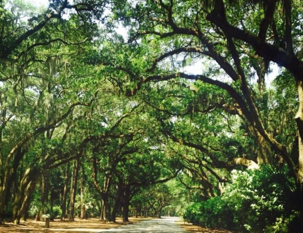 Live Oaks: Hilton Head is covered in lush oaks and Spanish moss.  <em>Photo Credit: Wendie Burbridge</em>