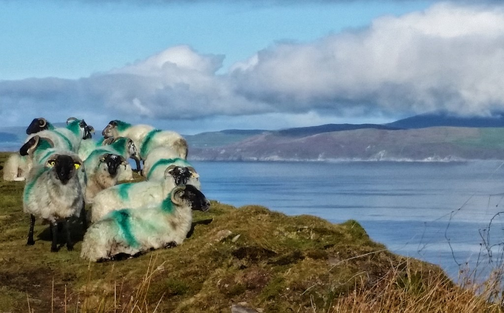 Not a bad view for a sheep, huh? They get to enjoy the sweeping landscape of Drung Hill and the Dingle Peninsula, even though they're laying in their own poop. Photo: Sara Weaver, Oct. 2017.