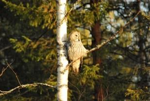 DSC_0608 Kristin King great grey owl northern sweden birdwatching holidays