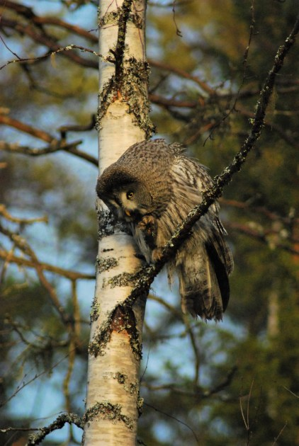 DSC_0640 Kristin King great grey owl northern sweden birdwatching holidays