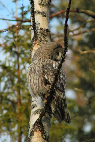 DSC_0653 Kristin King great grey owl northern sweden birdwatching holidays