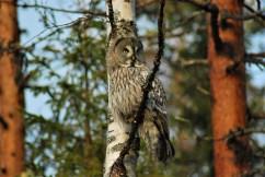 DSC_0662 Kristin King great grey owl northern sweden birdwatching holidays