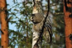 DSC_0664 Kristin King great grey owl northern sweden birdwatching holidays