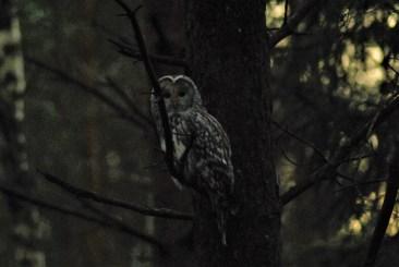 DSC_0692 Kristin King Ural owl birdwatching northern sweden holidays
