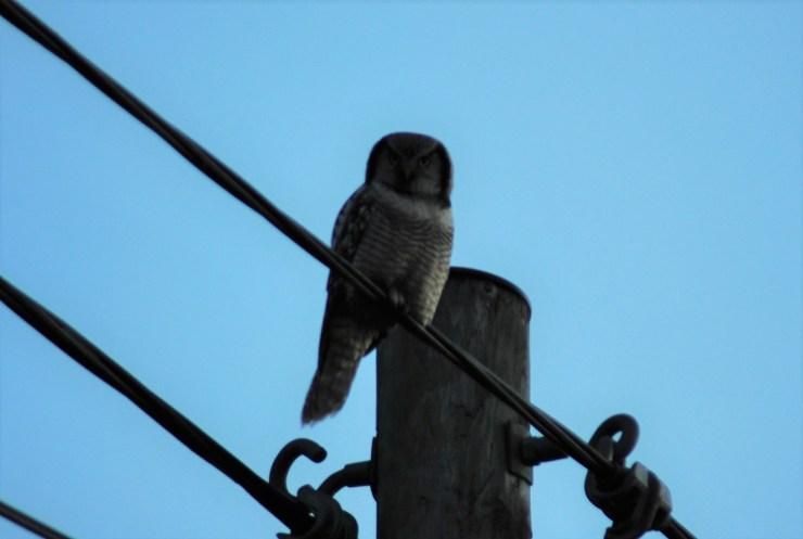 Surnia ulula Northern Hawk Owl Northern Sweden DSC_0697 Kristin King
