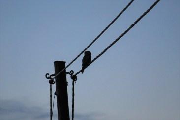 DSC_0730 Kristin King Hawk owl birdwatching northern sweden holidays